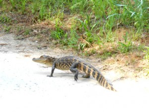 A baby alligator walking on the road.