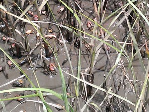 Tons of tiny crabs in the marshes.