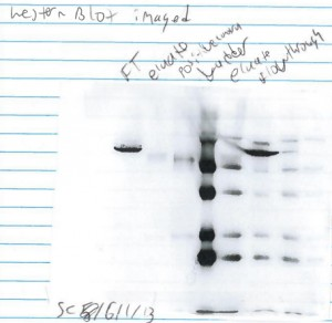 Western Blot from Week 3