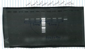 Agarose Gel of 6 samples of pcDNA3 containing FLAG-tagged FANCJ