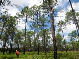 Stephanie and Dan walking in the longleaf pine woods