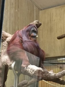 One of the orangutans at the National Zoo
